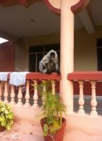 Parmarth Niketan Yoga Ashram-Rishikesh ve maymunlar