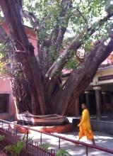 Parmarth Niketan Yoga Ashram-Rishikesh ve yüzyıllık ağaçları